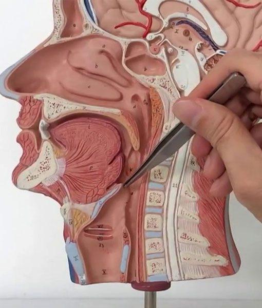 A Imagem Mostra Um Médico Apontando Em Um Modelo Da Cabeça Humana A Região Das Glândulas Salivares.